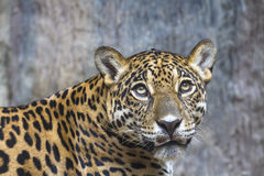 close-up-large-jaguar-sitting-rock-31967990