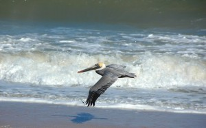 pelican-flying-over-the-oceans-surf